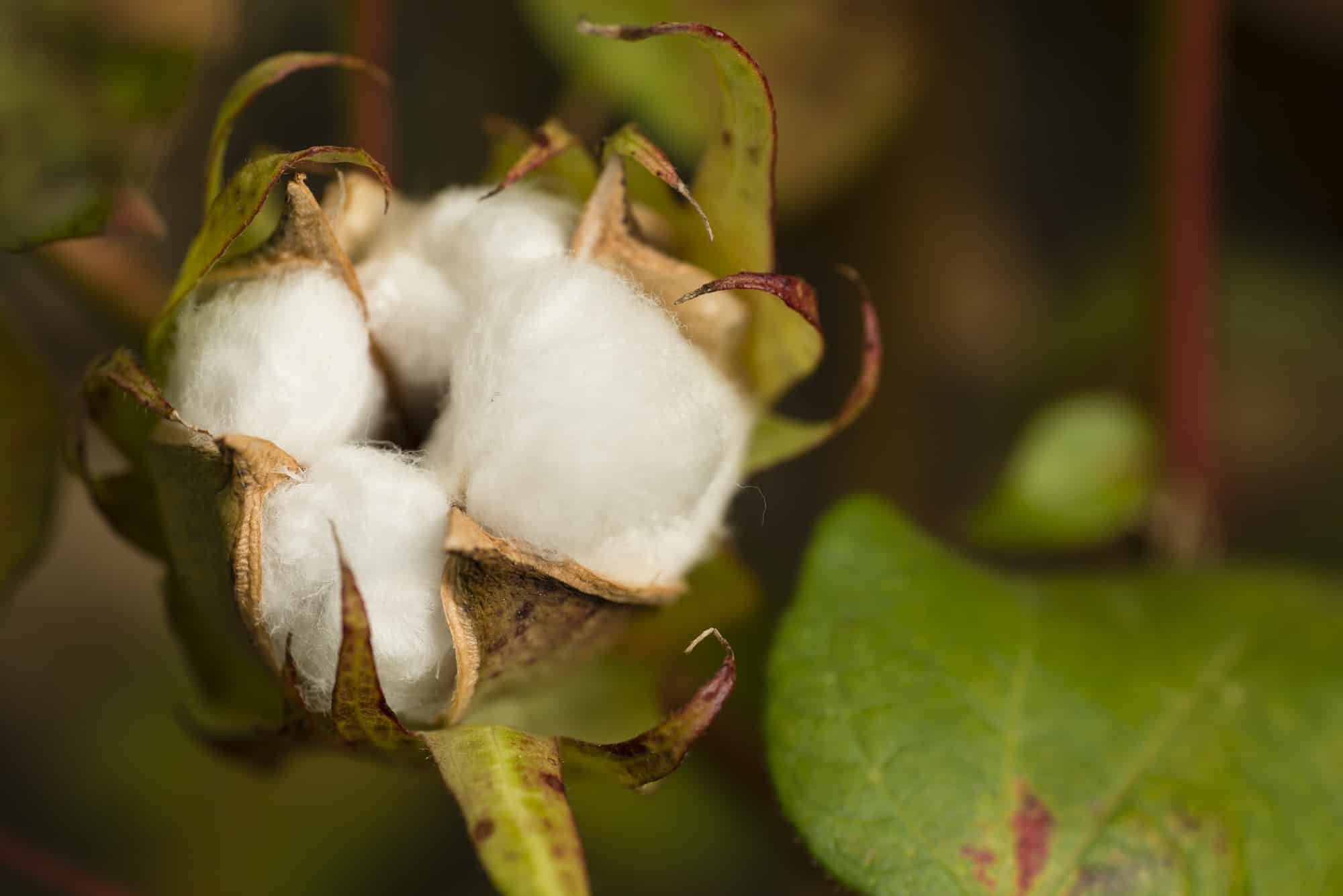 Cotton plant with seed capsule open