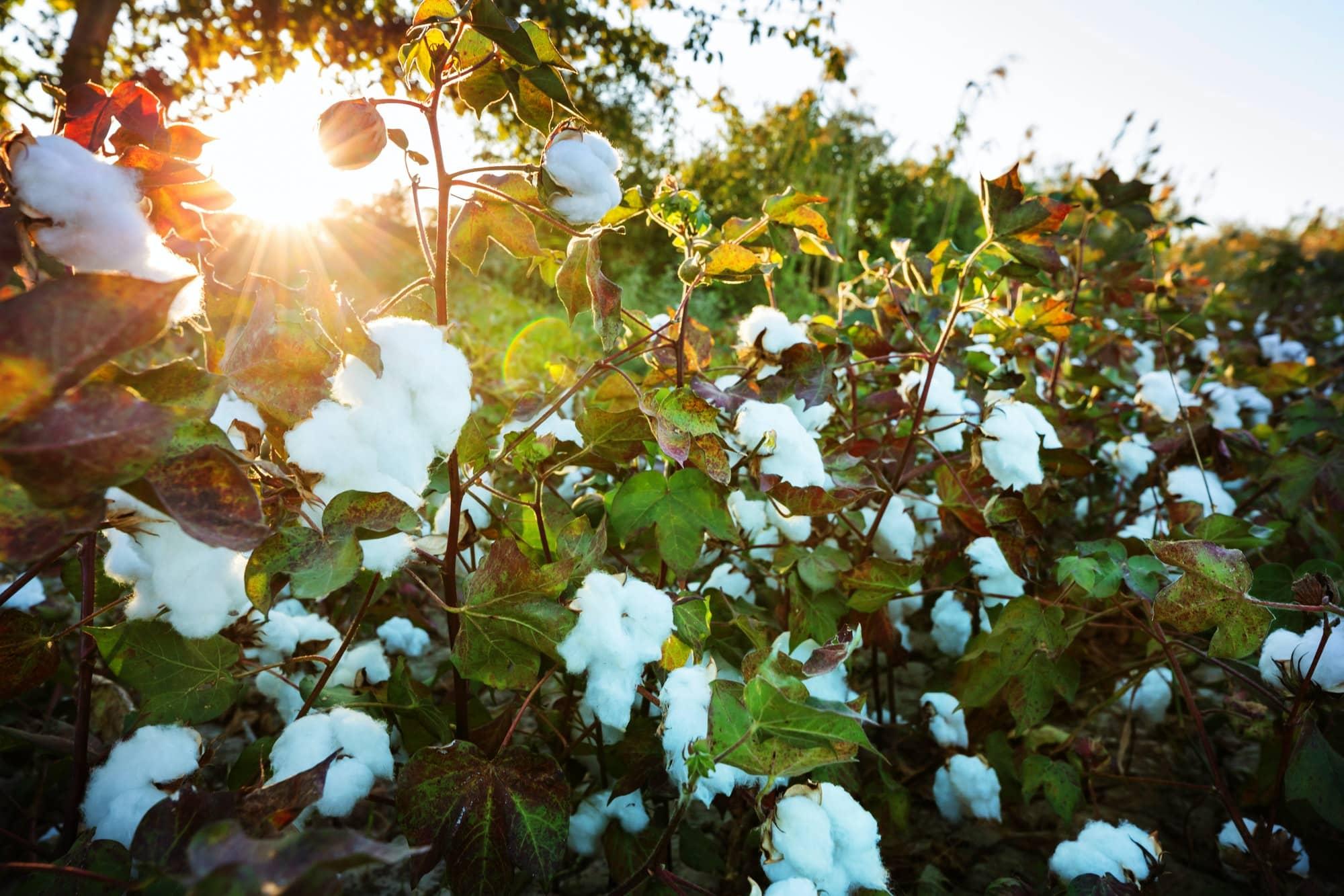 Lever de soleil sur fleurs de coton bio
