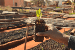 plant de tapia pour reforestation